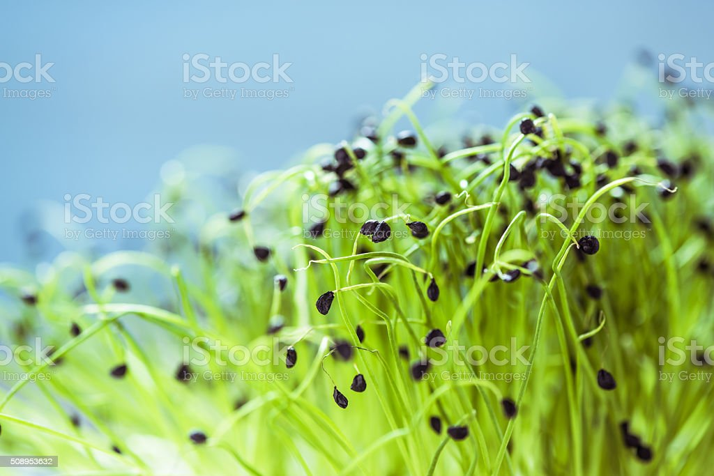 Fresh healthy seed sprouts stock photo