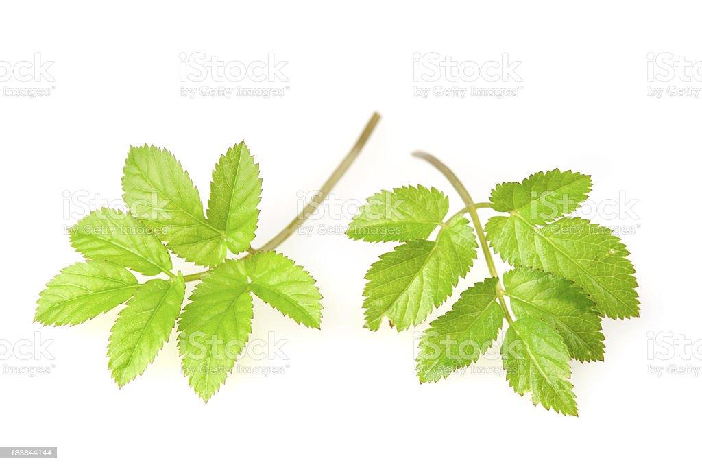 Fresh herb leaves stock photo