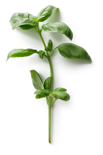 fresh herbs: basil isolated on white background - basil stock photos and pictures