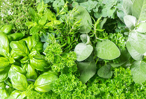 fresh herbs basil, marjoram, parsley, rosemary, thyme, sage stock photo