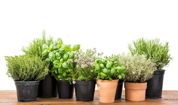 新鮮草本羅勒迷迭香香草香精白色背景 - 草本植物 個照片及圖片檔