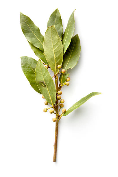 Fresh Herbs: Bay Laurel stock photo