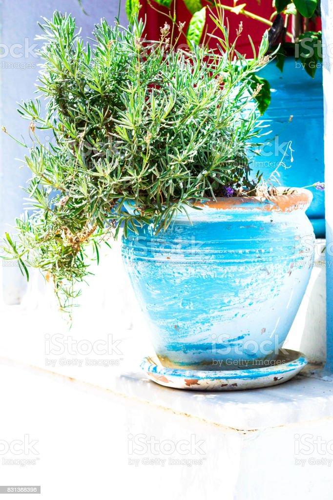 Herbes Fraîches Dans Un Pot De Fleur En Terre Cuite Peints Bleu Sur
