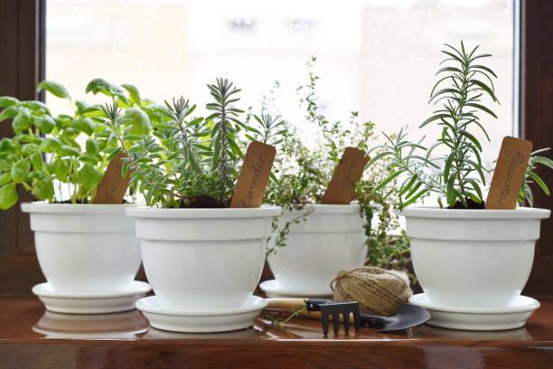 Hierbas en maceta - foto de stock