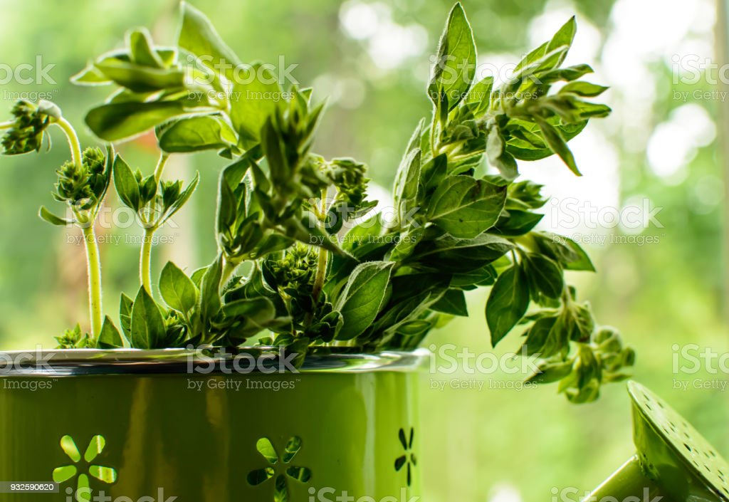 Fresh herbs in watering can with green garden background and copy space stock photo