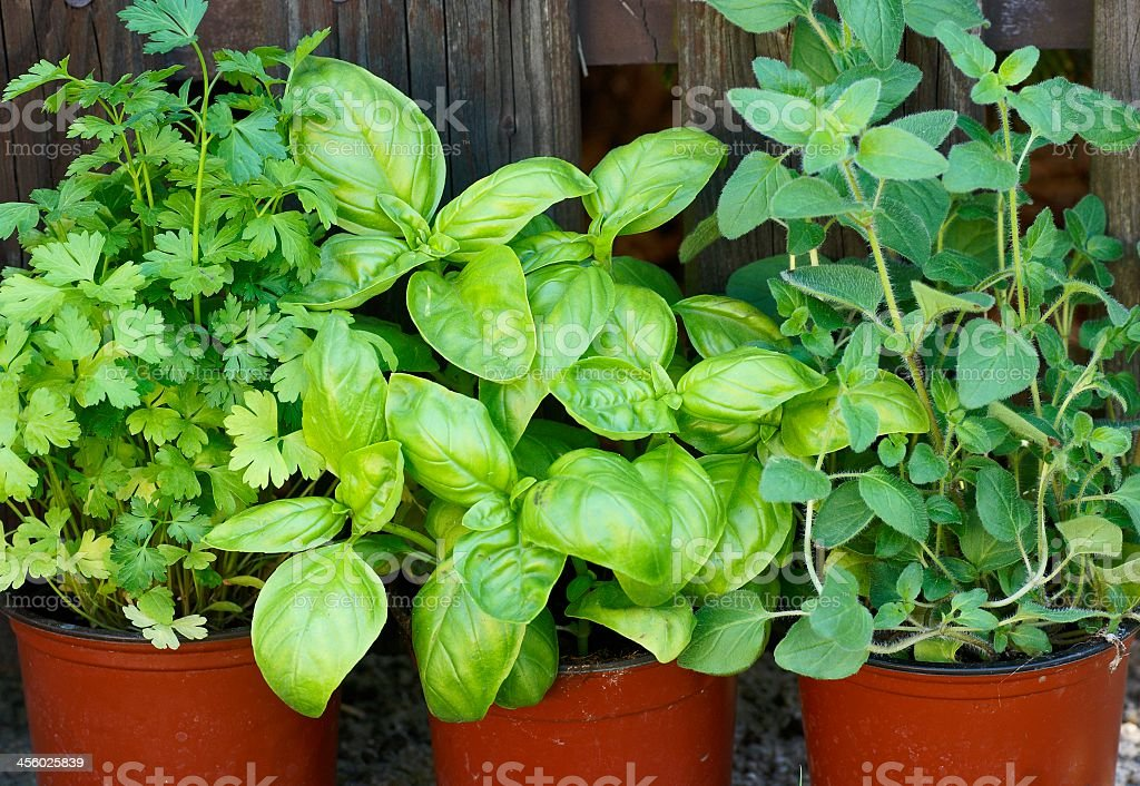 Fresh herbs on its pots in the garden stock photo