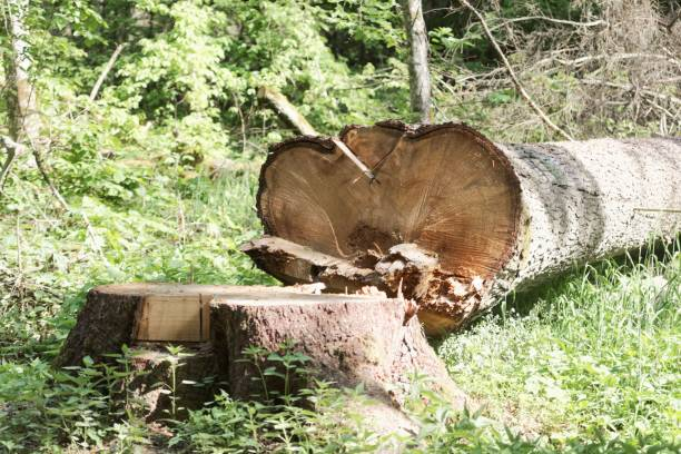 Frische Behauenen Baum In Einem Wald Foto