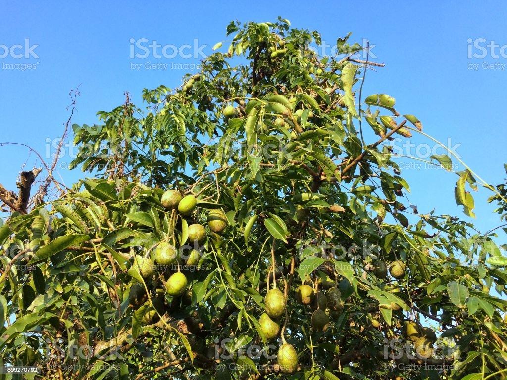 Growing hog plum trees