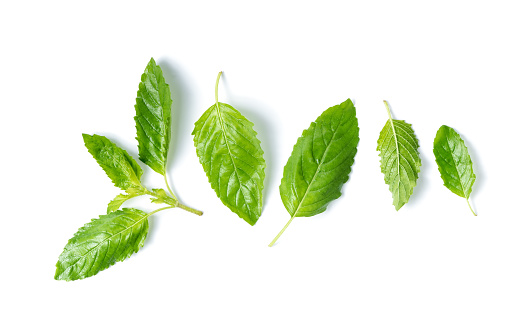 Holy basil leaf isolated on white background, with copy space, It is cultivated for religious and medicinal purposes for its essential oil and a herbal tea