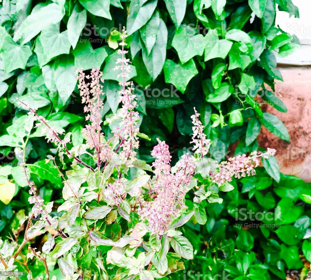 Fresh Holy Basil Plants in A Garden stock photo