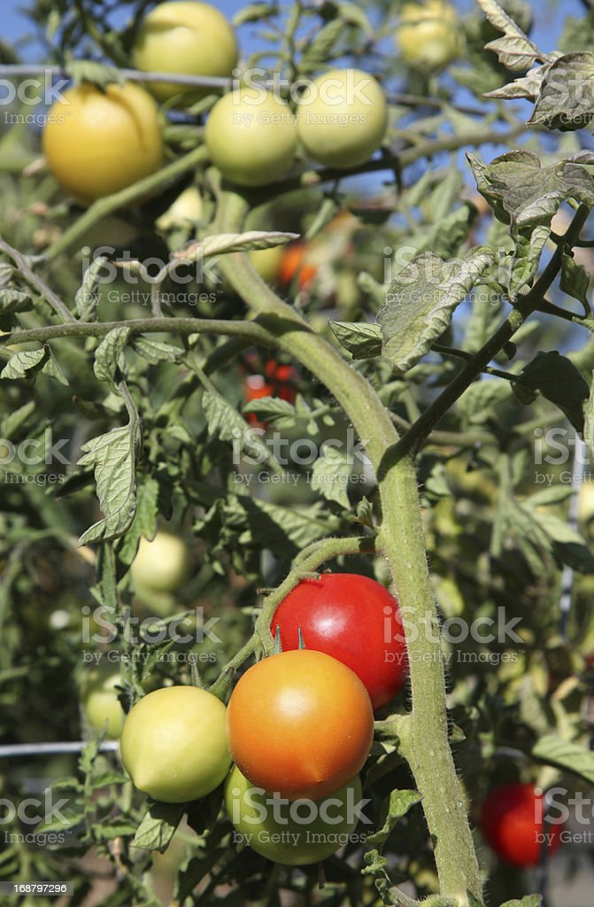 Fresh Home Grown Tomatoes stock photo