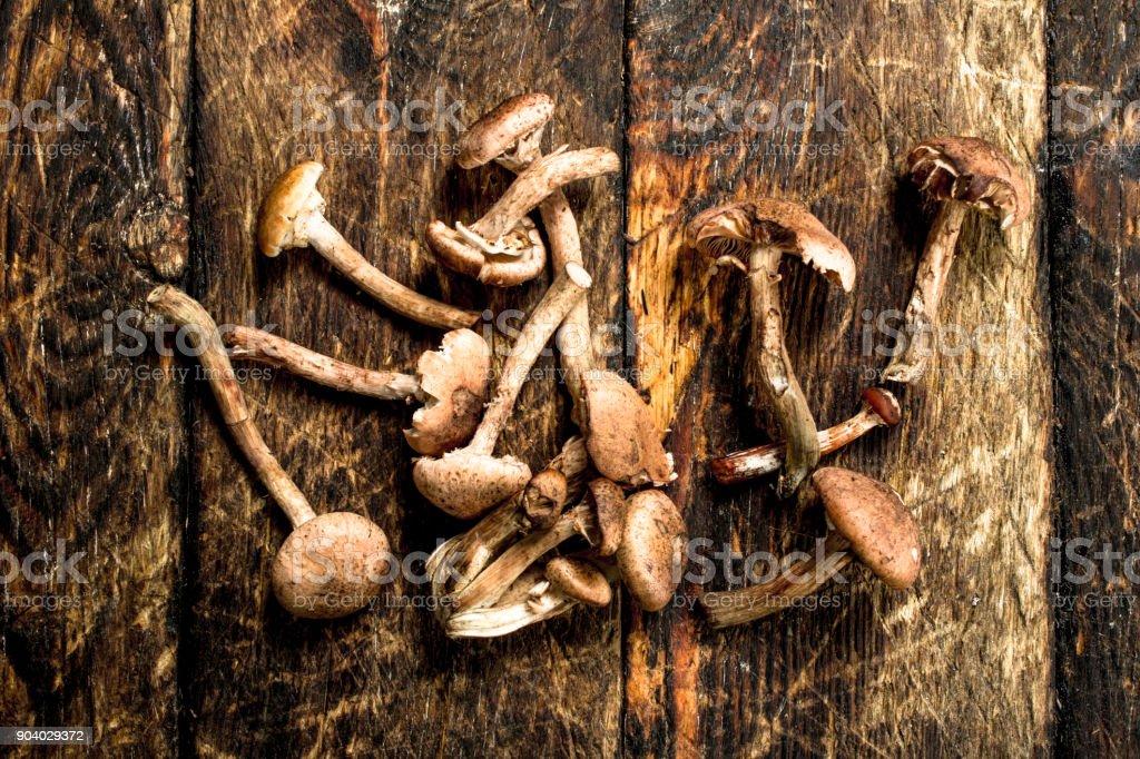 Fresh honey agarics. stock photo