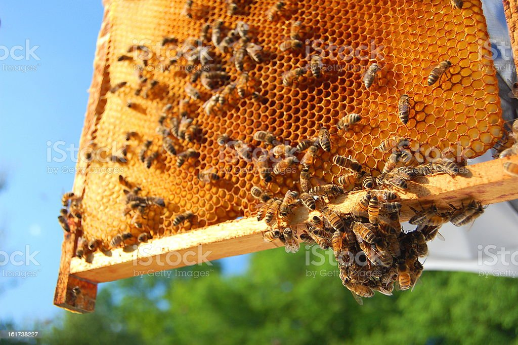 Fresh honeycombs in frame with bees on it stock photo