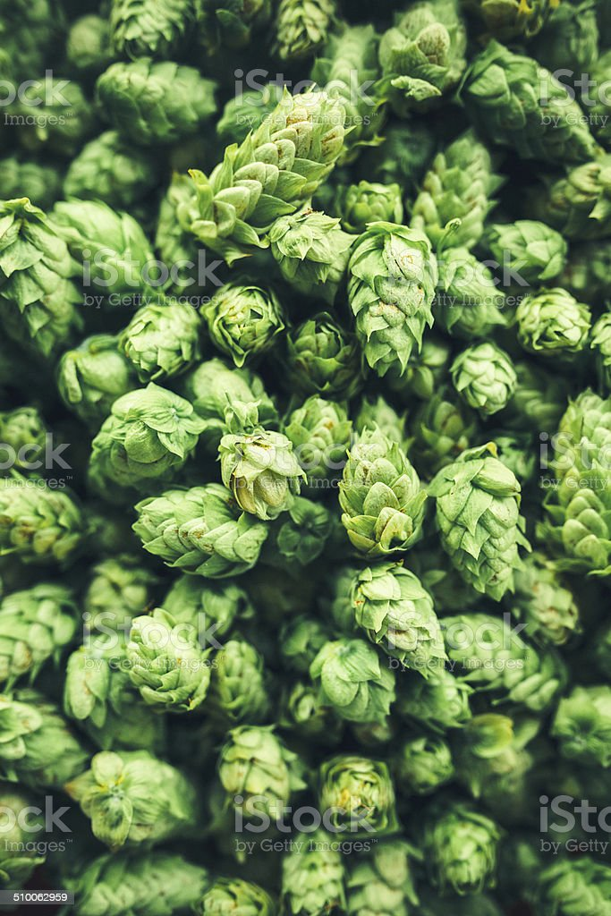 Fresh Hop Cone Harvest stock photo