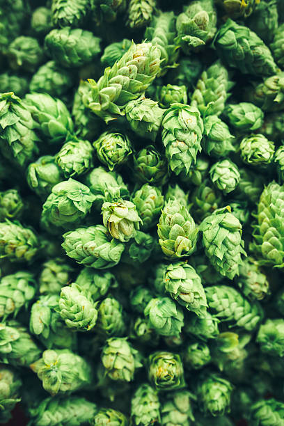 Fresh Hop Cone Harvest stock photo