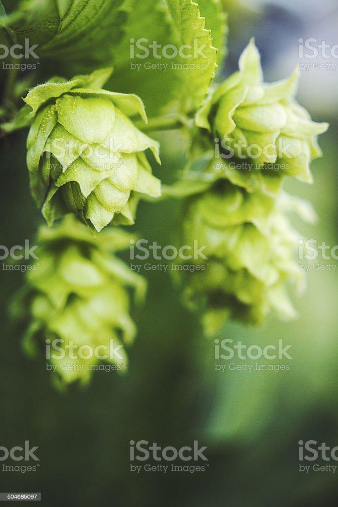 Fresh Hop Cones royalty-free stock photo