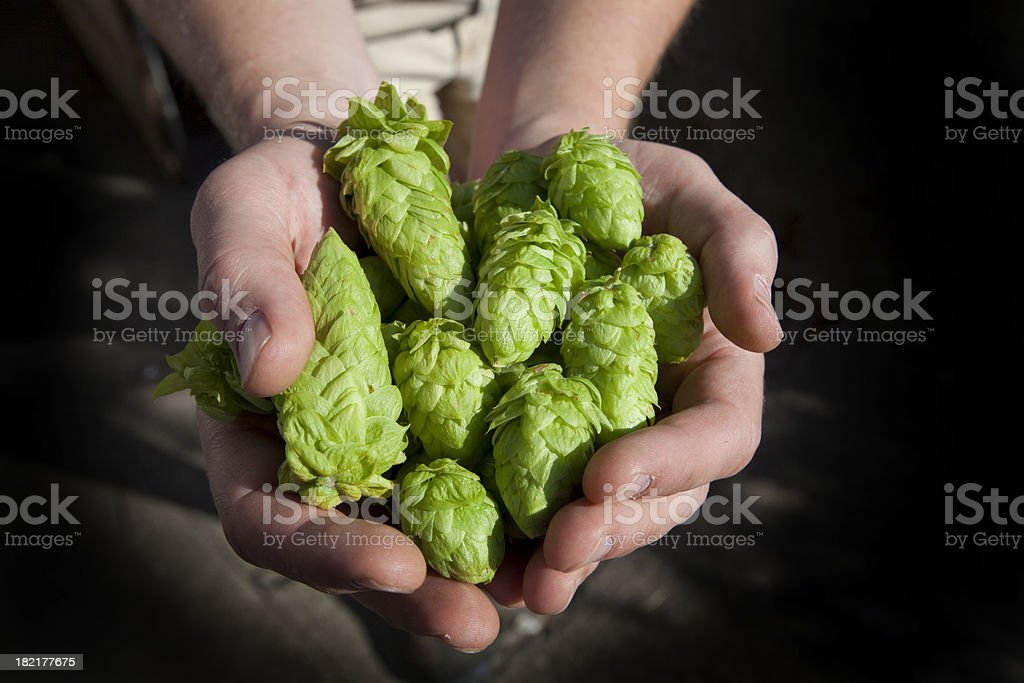Fresh Hops Ready for Beer stock photo