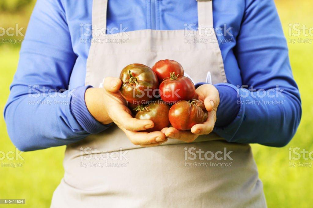 Fresh hybride delizia tomato . Colorful organic tomatoes in farmers hands stock photo