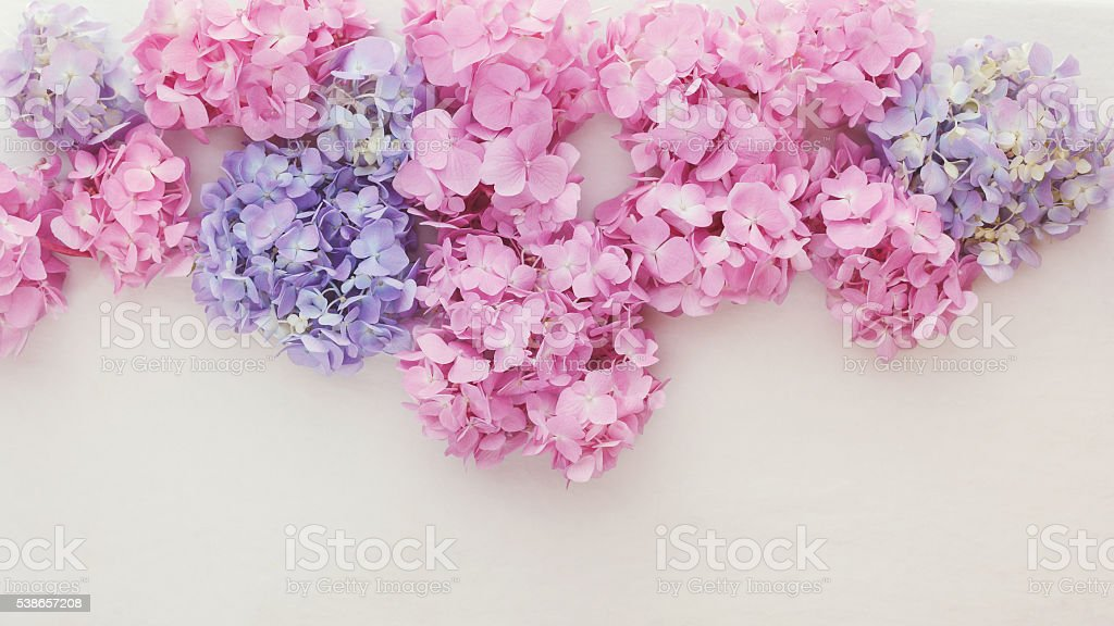 Fresh hydrangea flowers stock photo