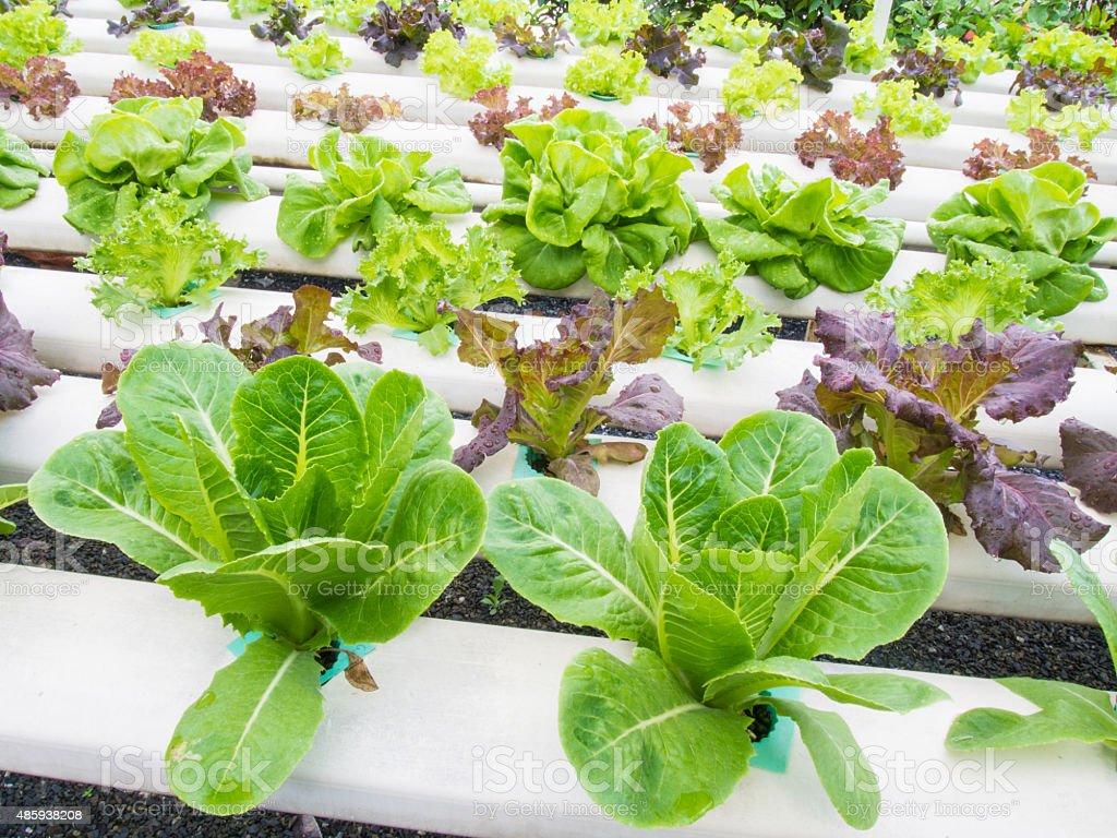 Fresh hydrophonic plant stock photo