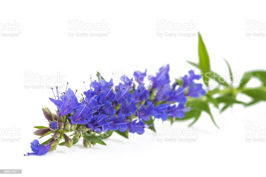 Frischen Ysop Blüte – Foto