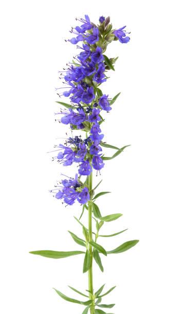 Fleurs fraîches d'hysope - Photo