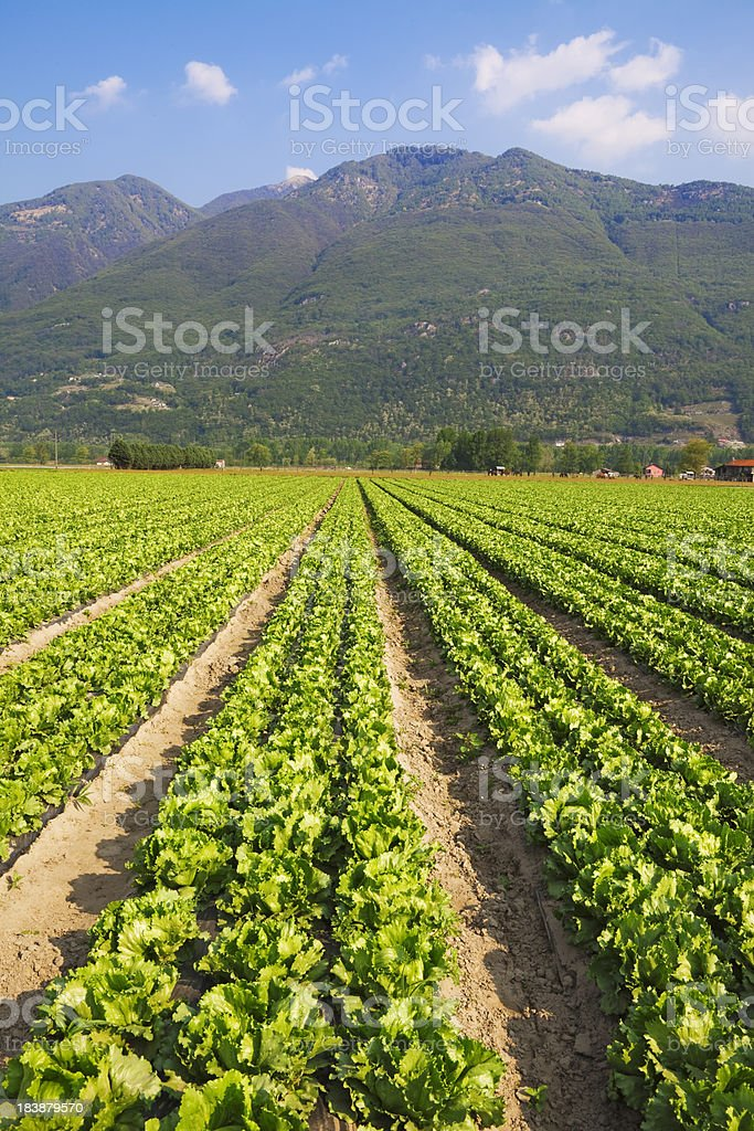 Fresh iceberg salad on the field. royalty-free stock photo