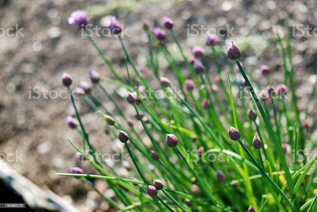 Fresh ingredients : chive blossoms royalty-free stock photo