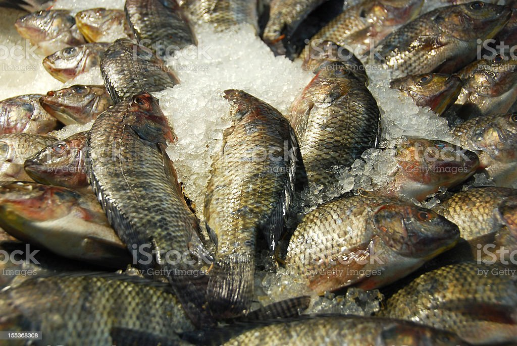 Fresh  Jack Fish  laying on ice stock photo