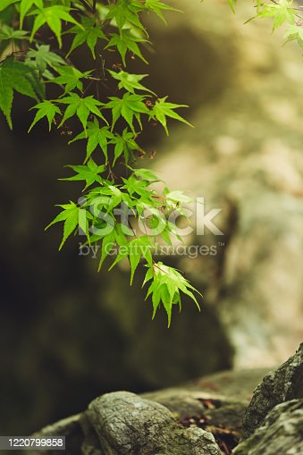 Fresh spring background. Maple branch. Green foliage of Japanese maple in a stone garden. Natural background of juicy maple leaves and rocks in the sun rays.