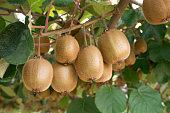 Fresh kiwis on tree growing. Kiwifruit Actinidia