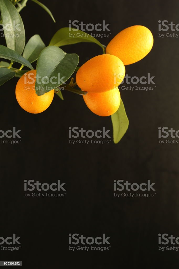 fresh kumquat fruits on a kumquat tree (Citrus japonica) closeup with copy space royalty-free stock photo