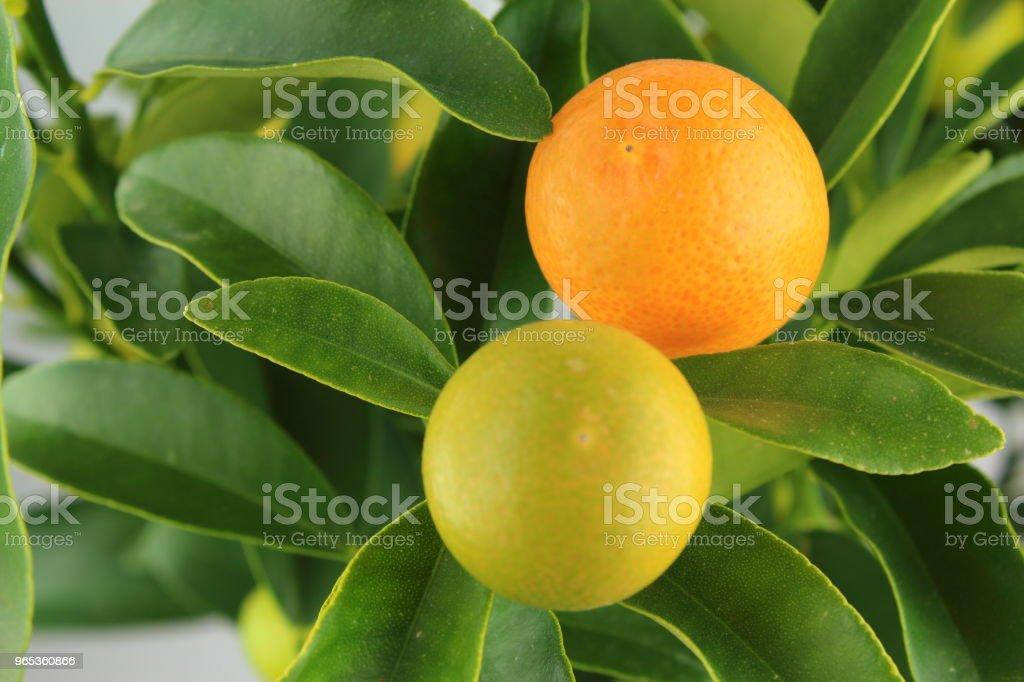 fruits frais kumquat sur un arbre de kumquat (Citrus japonica) - Photo de Acide ascorbique libre de droits