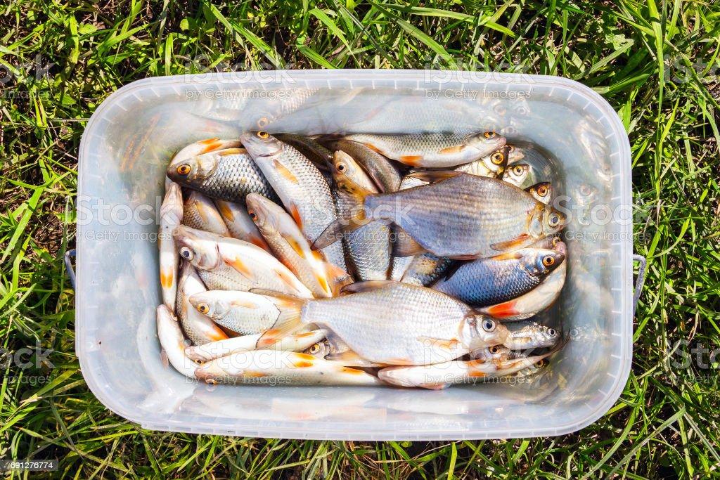 Fresh lake fish in a plastic bucket stock photo
