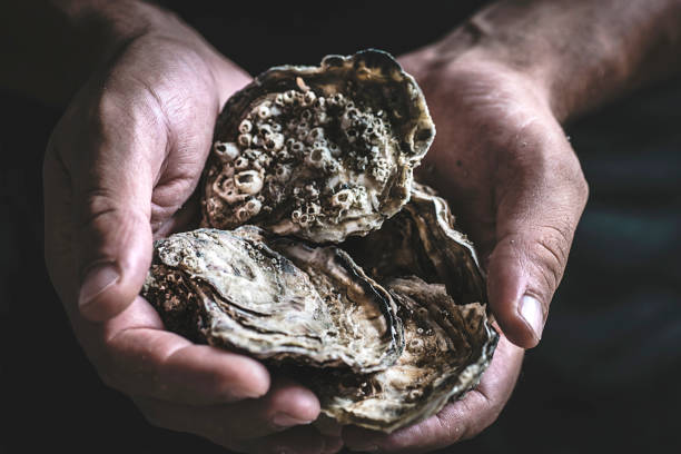 Fresh large oysters in male hands on a dark background. Delicious seafood Fresh large oysters in male hands on a dark background. Delicious seafood mollusk stock pictures, royalty-free photos & images