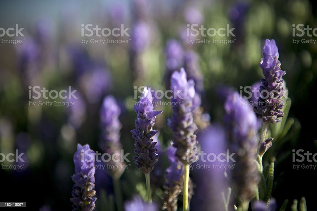 Fresh Lavender Detail royalty-free stock photo