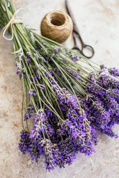 Fresh lavender stock photo