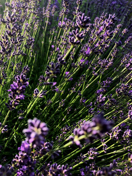 Fresh lavender plant stock photo