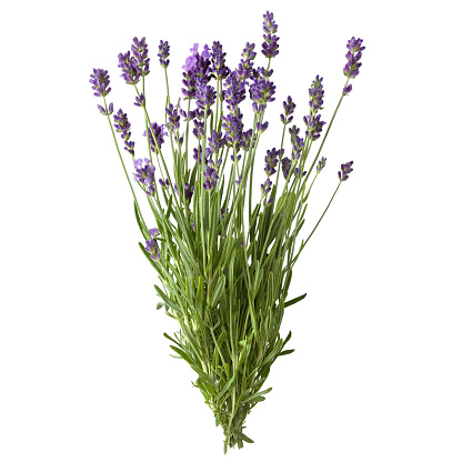 istock Fresh lavender sprig with flowers. 892039548