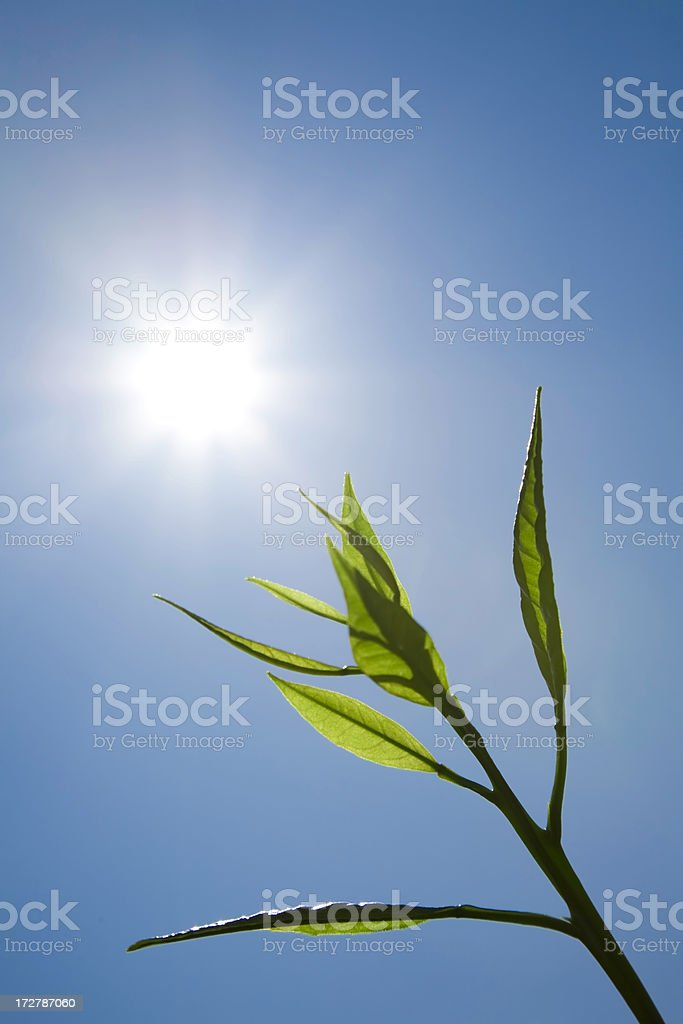 Fresh Leaf in front of sunny blue sky royalty-free stock photo