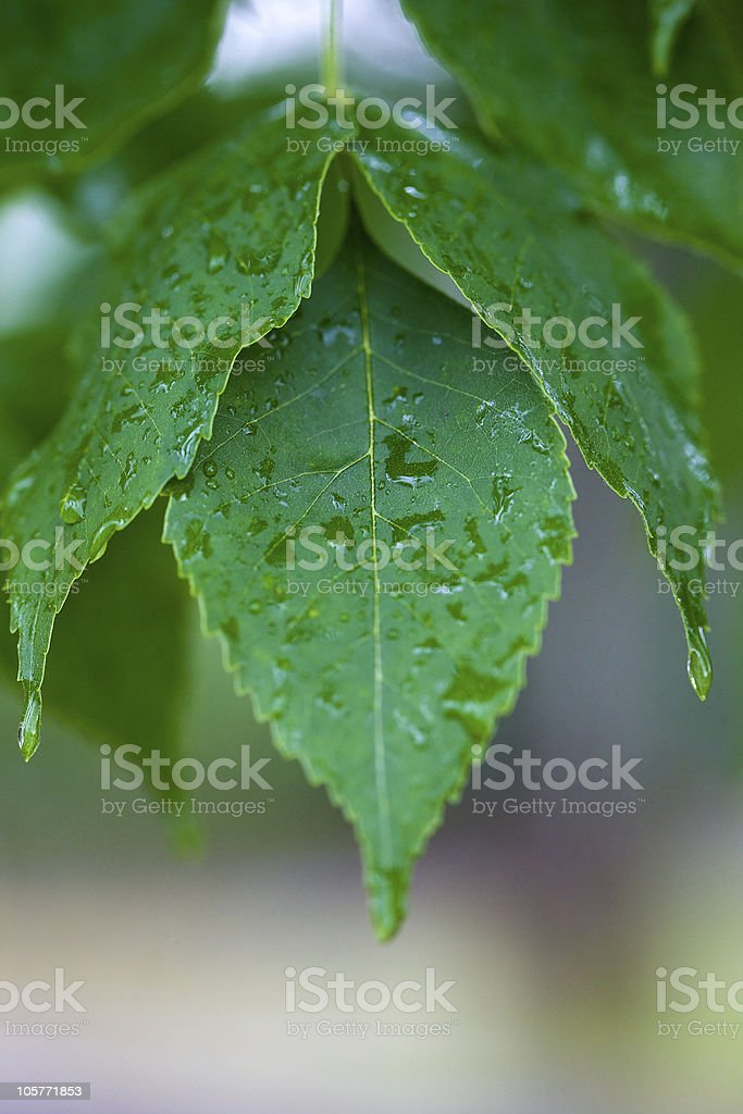 Fresh leaf with dew after a rain. stock photo