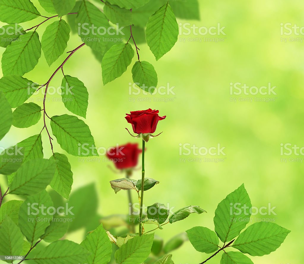 Fresh Leaves And Two Roses royalty-free stock photo