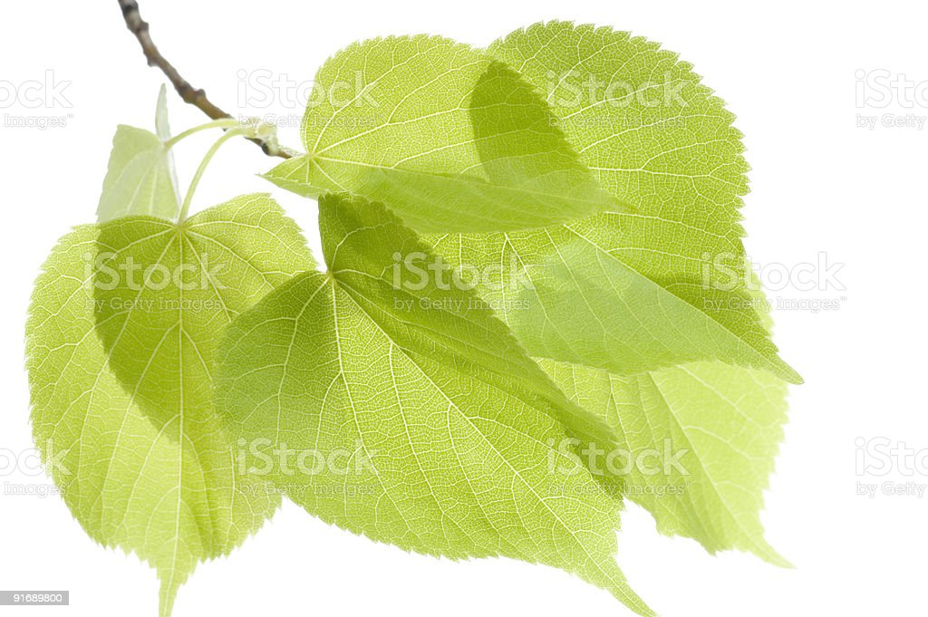 Fresh leaves close-up. royalty-free stock photo