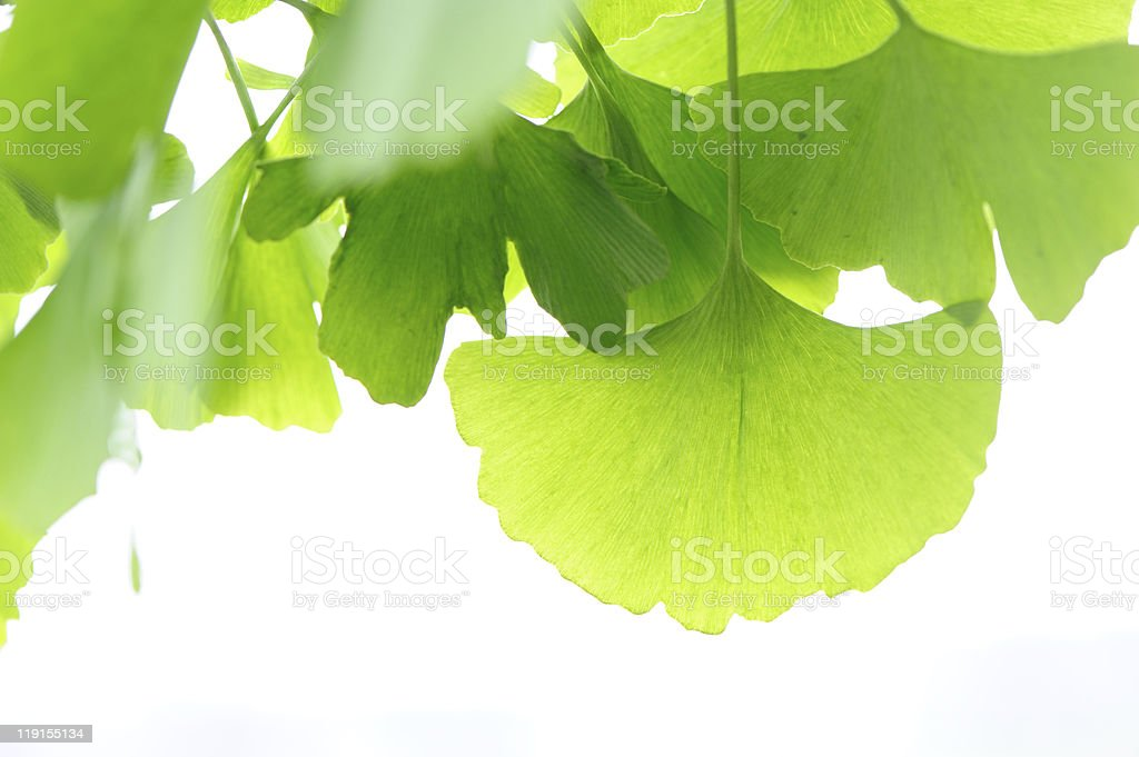 Fresh Leaves Ginkgo royalty-free stock photo