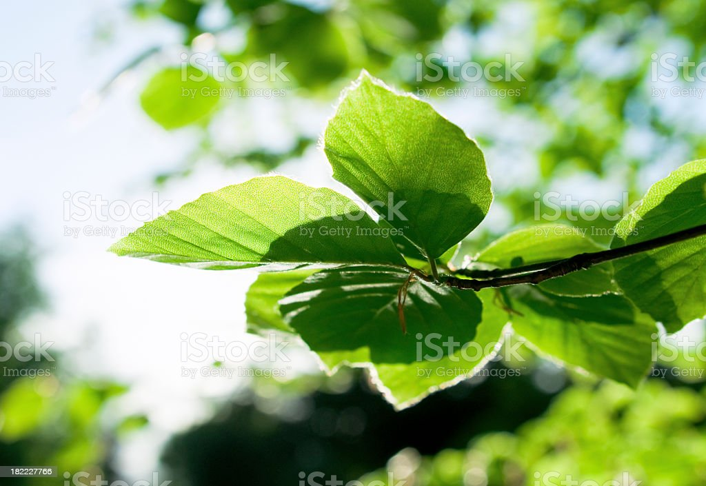 Fresh Leaves in Spring royalty-free stock photo