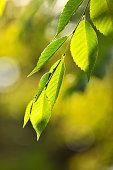 Fresh leaves in springtime