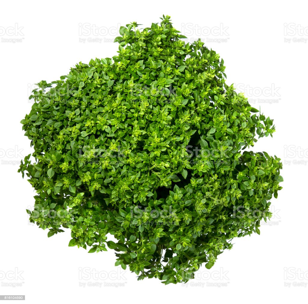 Fresh leaves of a Greek dwarf basil on a white background stock photo