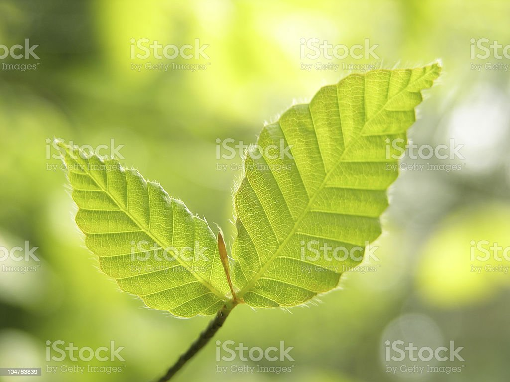 Fresh leaves of beech tree stock photo