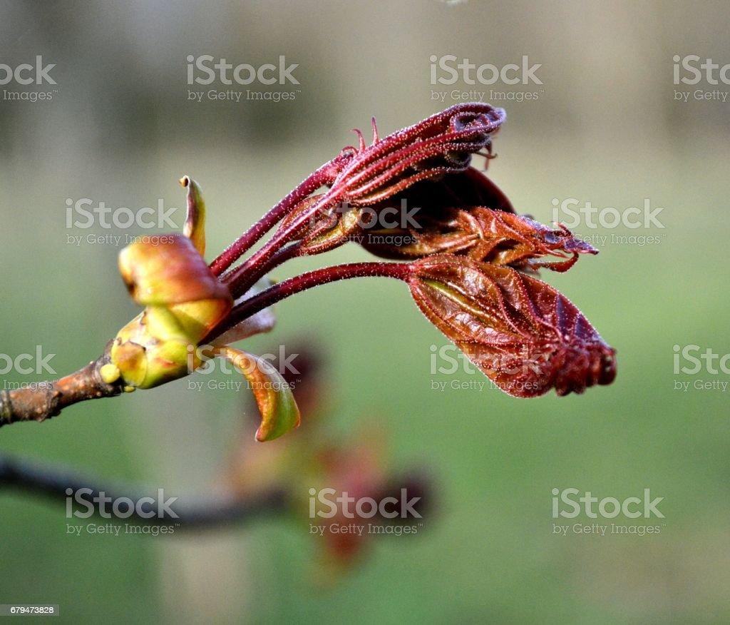 新鮮的葉子的加拿大楓葉在公園裡 免版稅 stock photo