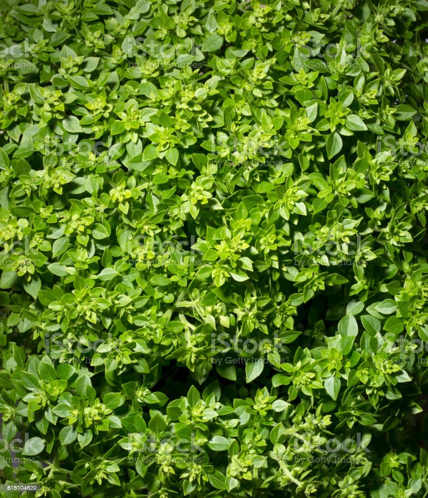Fresh leaves of Greek dwarf basil closeup stock photo